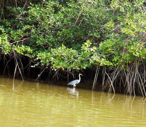 blue-heron-jambeli